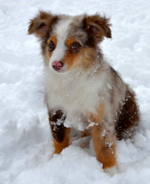 Toy Australian Shepherd....I didn't know these existed!
