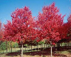 Click to view full-size photo of Sun Valley Red Maple (Acer rubrum 'Sun Valley') at Plant World