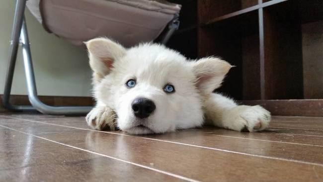 Tyson, chien Husky sibérien