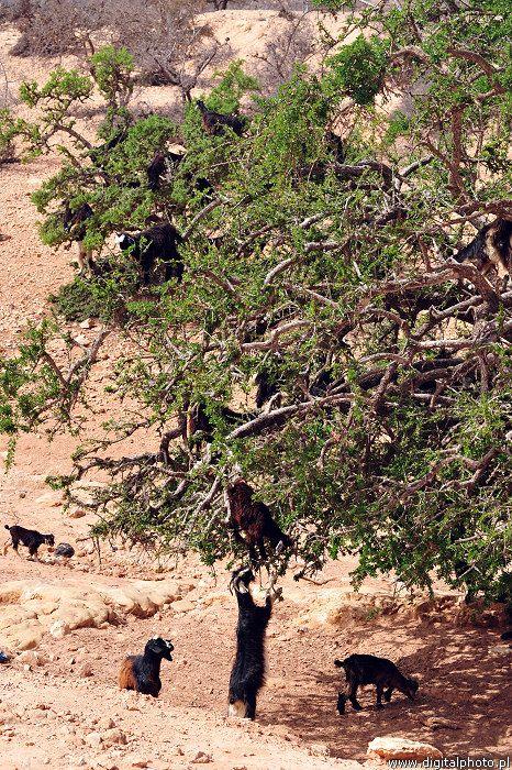 Maroko - Kozy na drzewach - podróż po Maroko