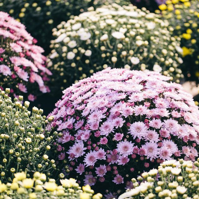 Chrysanthemums Are A Por Flowering Evergreen Shrub