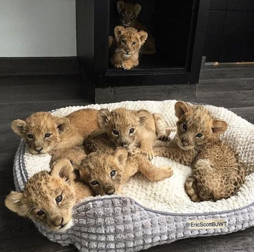 Image de animal, lion, and cute