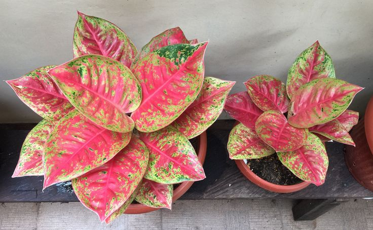 Aglaonema Mahaseti #riariz collection