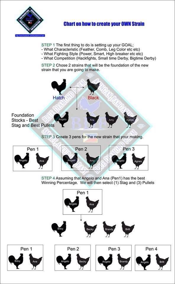 how to line breed gamefowl
