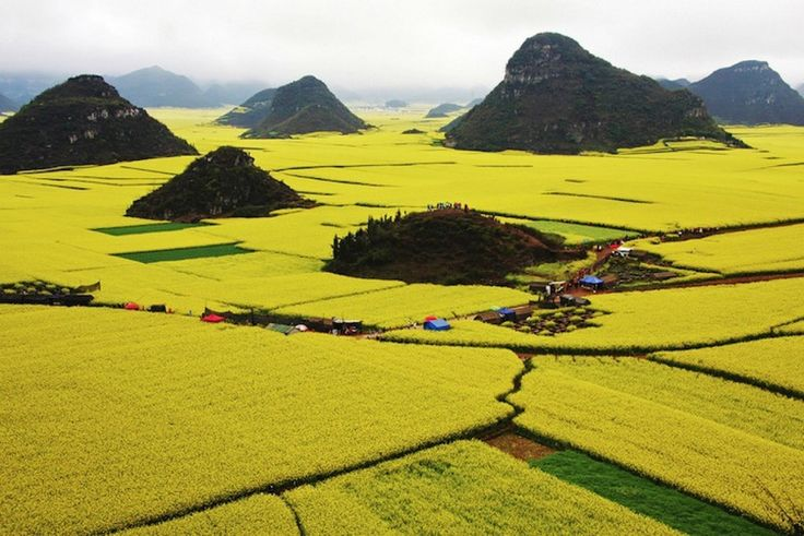 A Photographers' Haven: Golden Sea of Canola Flowers in Luoping, China