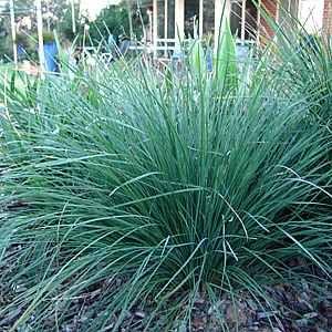 Lomandra longifolia 'Nyalla'