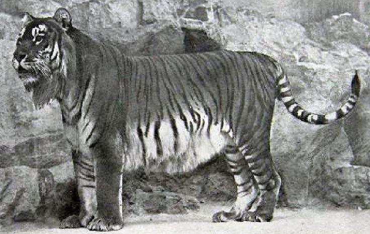 Extinct+Tigers+|+Extinct+animals,+Caspian+tiger