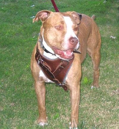 Red+Nose+Pitbulls | Pitbull Red Nose : American PitBull Terrier Harness, Collar, Leash ...