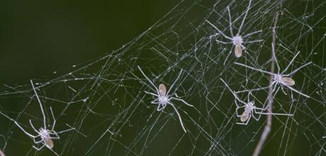 Stärker als Kevlar: Spinnen spinnen Superseide - SPIEGEL ONLINE - Nachrichten - Wissenschaft