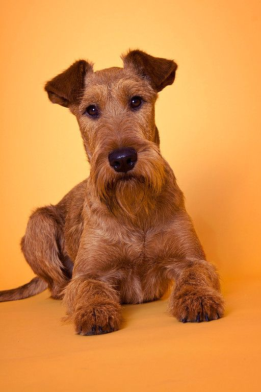 66 best images about irish terrier on pinterest