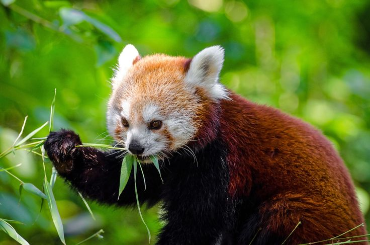 The red panda, classified as Endangered by the IUCN - Culture's Ways