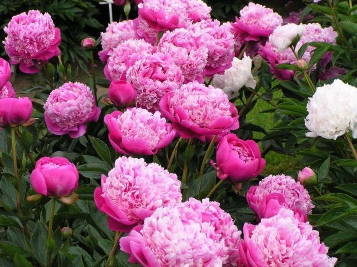 Pfingstrosen kaufen - Blütenpracht in Rosa