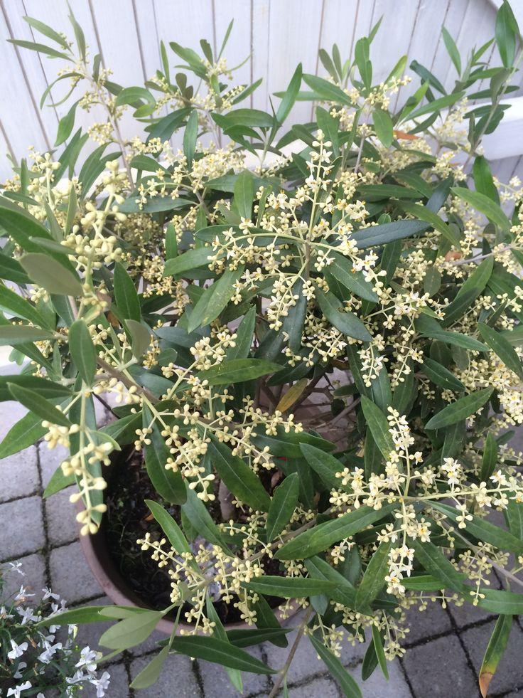 """Massor av """"oliver"""" på mitt lilla olivträd!"""