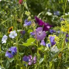 Flowers to attract butterflies / Bloemen die vlinders trekken:  Dille, Kaasjeskruid, Borage, Lavendel, Klaversoorten, Wikken, Gele mosterd, Bolderik, Meisjesogen, Zomeraster, Korenbloem, Ganzebloem, Hondstong, Ridderspoor, Slangekruid, Slaapmutsje, Scheefbloem, Roodbloeiend Vlas, Klaproos, Kanariegras, Phlox, Welriekende reseda, Oost-Indische kers, Mosverbena, Zinnia, Boekweit, Bijenvoer.