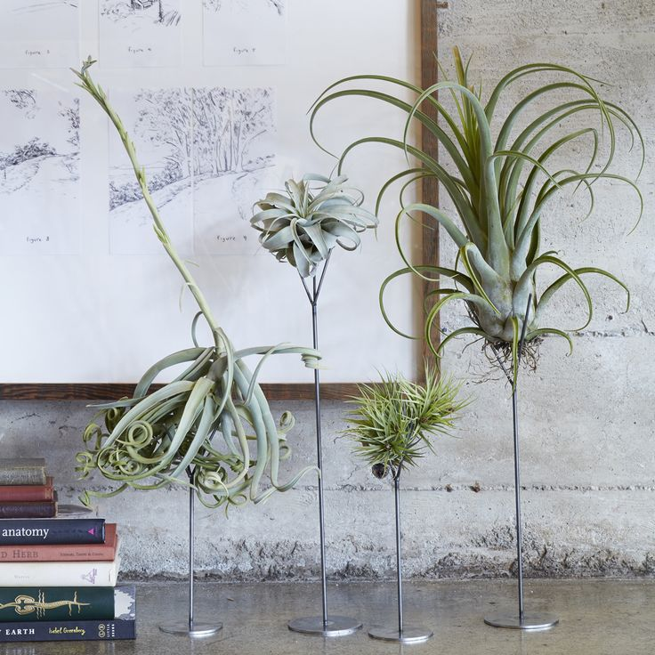 Tillandsia stands elevate your air plants This