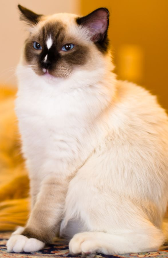 Ragdoll kitten...my favorite cat. They are great with children.