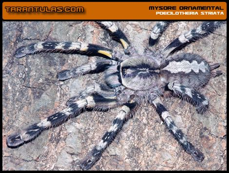 45 best images about Tarantulas/Arachnids on Pinterest ...