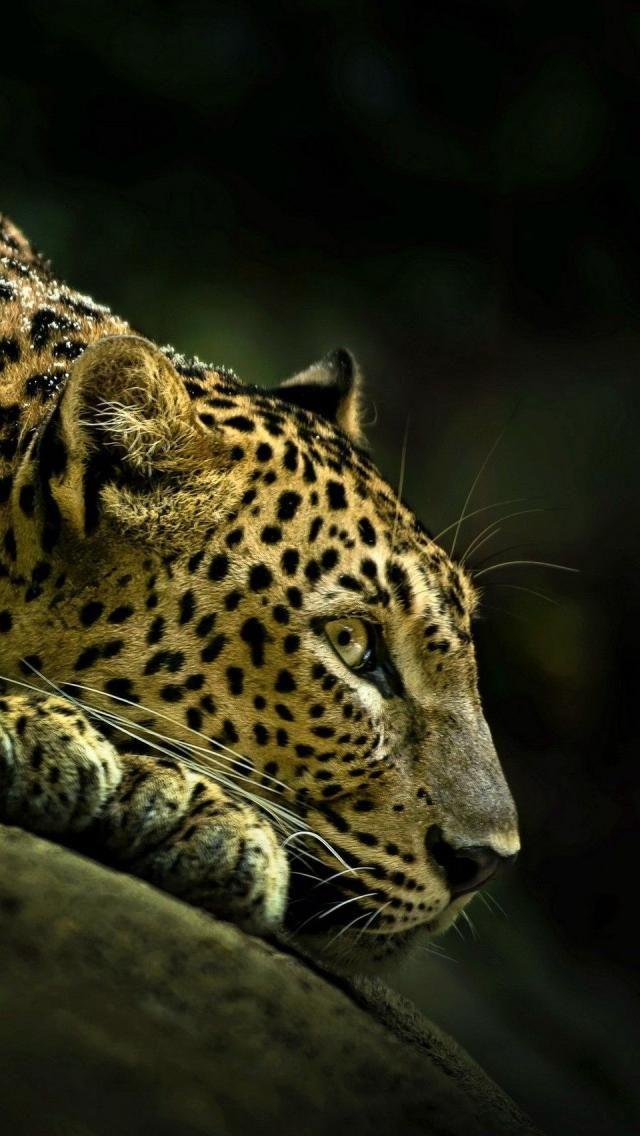 Guerrero jaguar pensando en sus proyectos.
