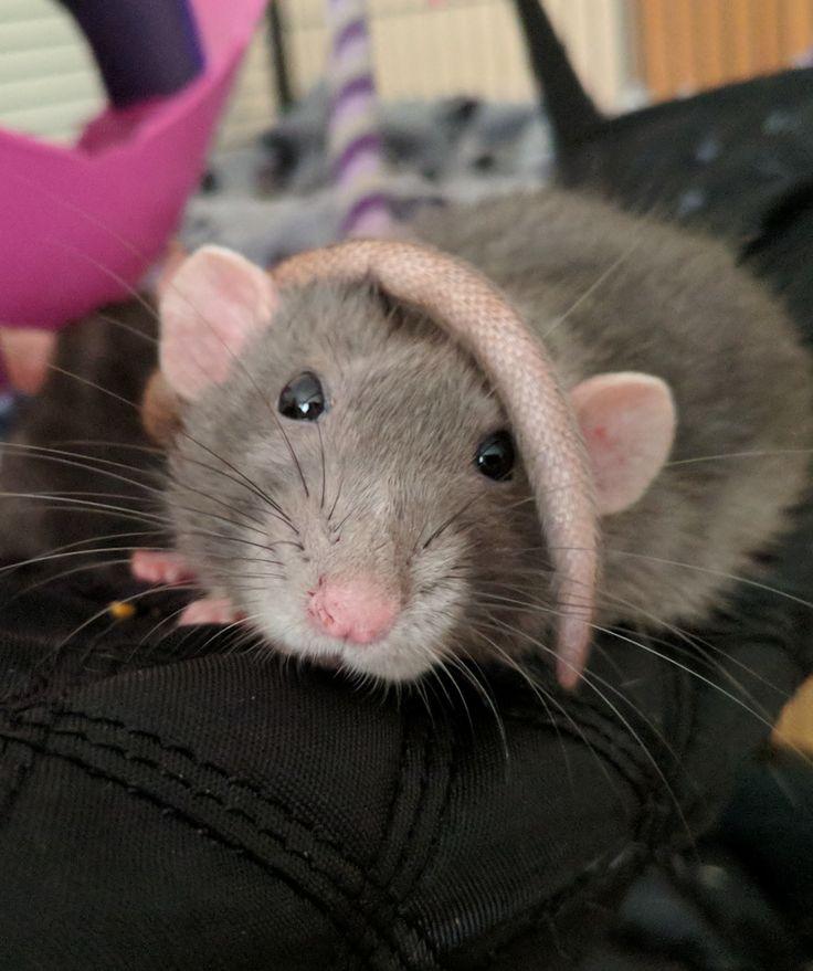 Rats make wonderful pets