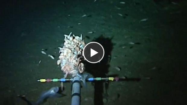 En explorant la fosse des Mariannes, la plus profonde actuellement connue, une expédition a mis la main sur de nouvelle espèces, dont un poisson blanc et translucide inconnu trouvé à plus de 8.000 mètres de profondeur.
