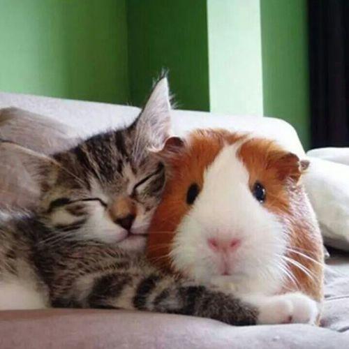 Cute Kitty and Guinea piggie pals cute animal friends #animaloddcouples…