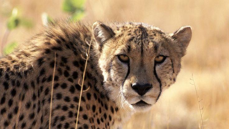 3840x2160 Wallpaper cheetah, waiting, grass, background, big cat, muzzle