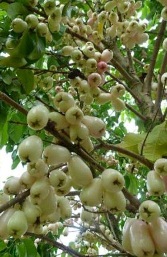 White Malay Apples.