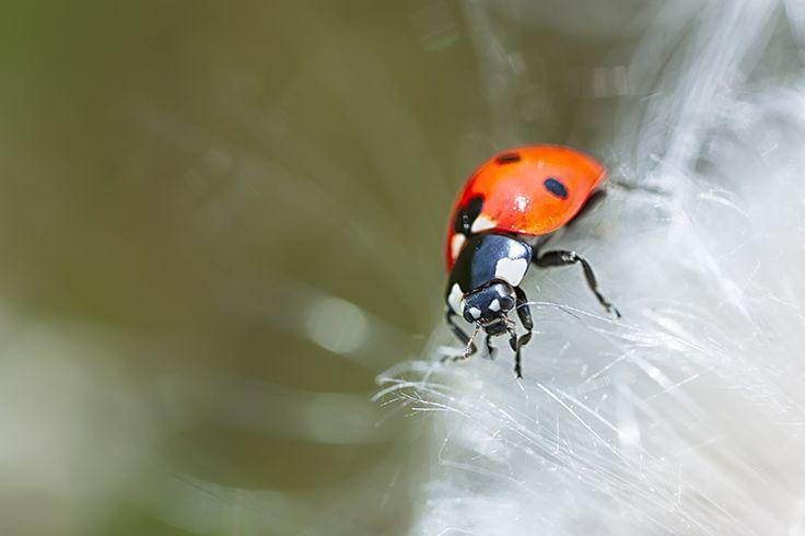 Ladybird on a dandelion clock
