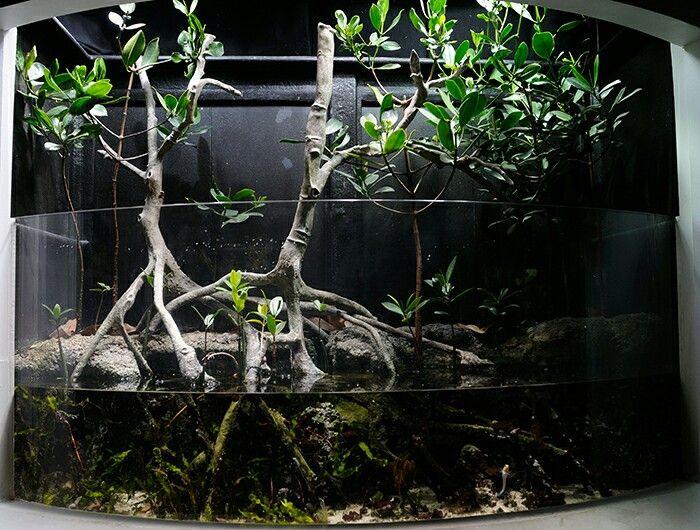 Mangrove Aquarium Freshwater Aquariums Pinterest