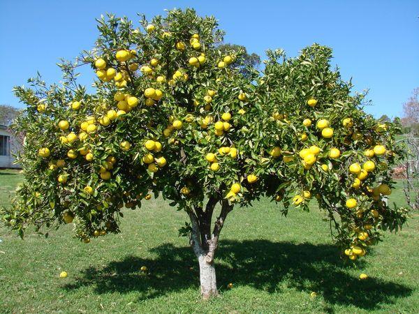 grapefruit tree에 관한 상위 개 이상의  아이디어, Natural flower