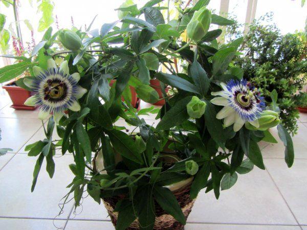 Комнатное растение пассифлоры
