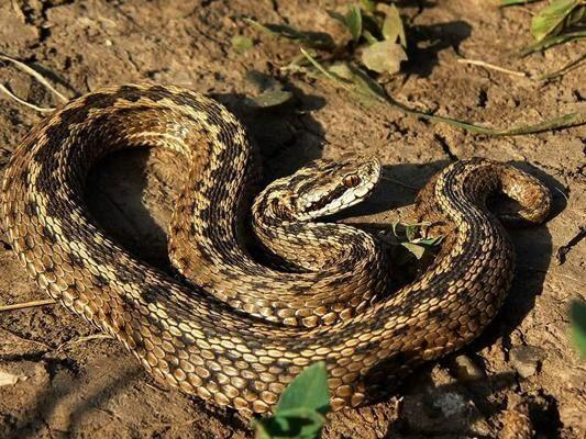 Uomo morso da una vipera a Grottaglie: porta il serpente in ospedale per l'antidoto