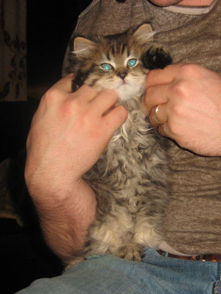 grumpy cat wedding invitations%0A Baby Alfred Kitten Cat Hairy Grumpy Grouch