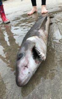 Rare crocodile shark found on UK beach