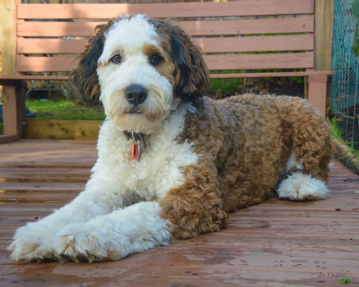 Image result for bernedoodle haircuts before and after ... Adult Goldendoodle