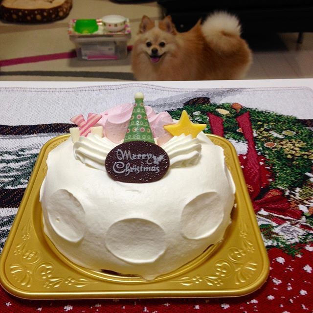 クリスマスケーキ🎂 昨日も食べたのに、仕事帰りにコンビニ寄ったら、半額になってだから思わず買っちゃった😁 食後のコロンにも狙われてます🐶 #メリークリスマス#コンビニ#コンビニスイーツ #セブンイレブン #ポメラニアン#ポメラニアンクリーム#ポメラニアンオレンジ#愛犬#コロン
