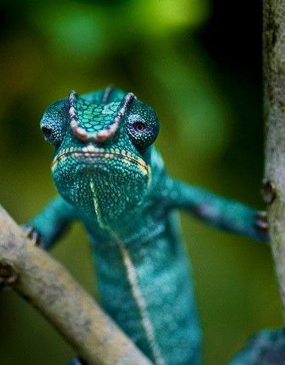 "loriedarlin: ""http://belindag.tumblr.com/post/145880303557/via-whos-grumpy-beautiful-turquoise-lizard """