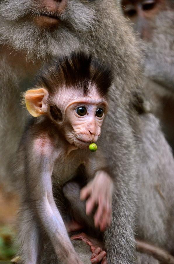 primates world long-tailed