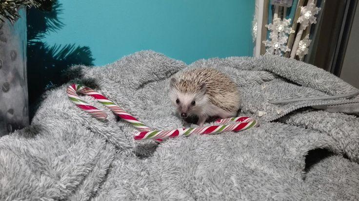 Christmas, hedgehog , ježek bělobřichý, my pet