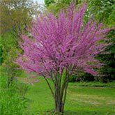 Eastern Redbud Trees for Sale | Fast Growing Trees - small flowering tree option for near the house??