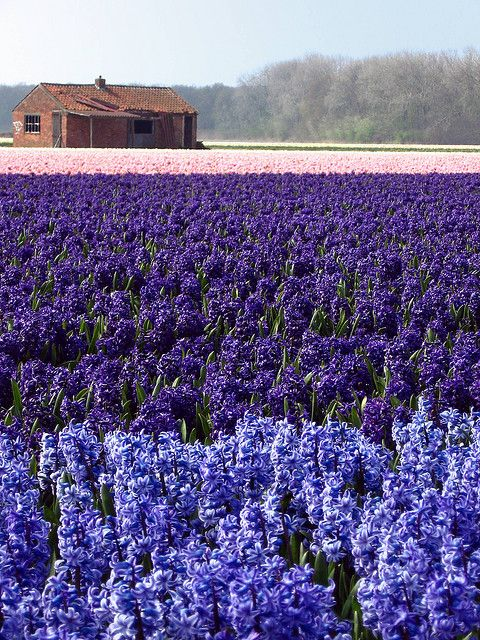 Field of Hyacinths #hyacinth #purple #blue #pink #flowers #floral #flora #nature #landscape