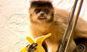Globo Repórter - Macacos-prego invadem casas por comida | globo.tv