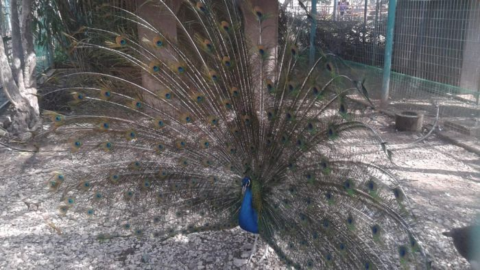 Περήφανο το παγώνι ανοίγει τα φτερά του. Μικροί και μεγάλοι το θαυμάζουν και κάποιοι το φωτογραφίζουν. Μια όμορφη στιγμή χθες το πρωί στον Δημοτικό Κήπο Χανίων. #haniamoments   Read more: http://www.haniotika-nea.gr/i-fotografia-tis-imeras-10/#ixzz3VIZvHU5S