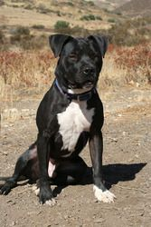 KING is an adoptable American Staffordshire Terrier Dog in New Orleans, LA. This ebony beauty is one of our Hurricane Gustav dogs which means he came here all the way from Louisiana along with his oth...