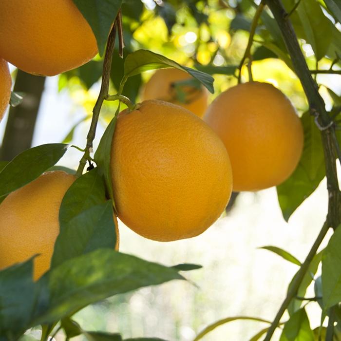 Cítrics el Plà - Organic Farming Table Navelina Orange