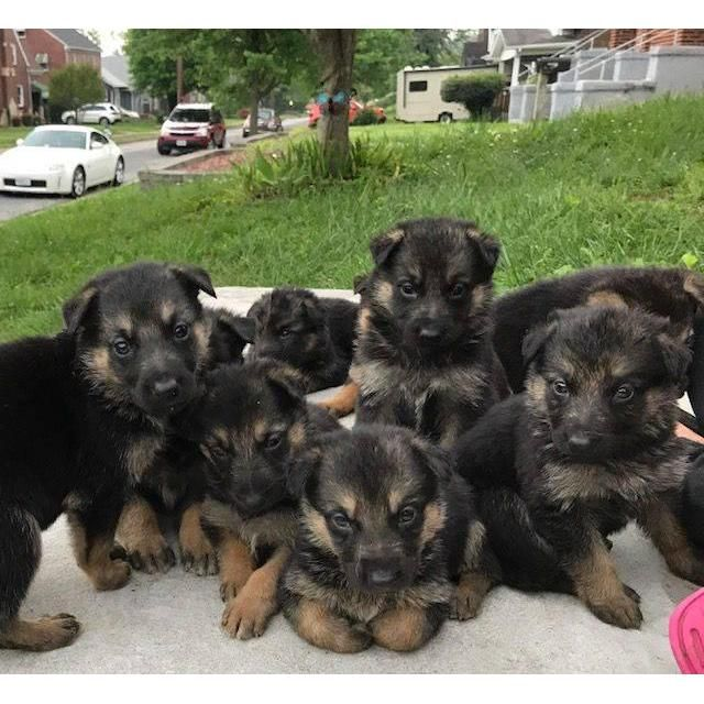 German Shepherd Dog Jackson Free German Shepherd Puppies We Are