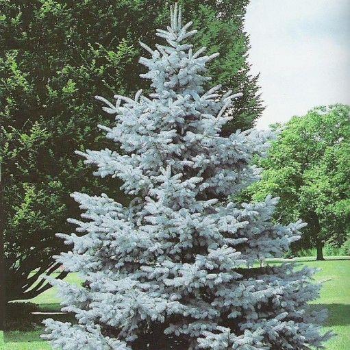 Bradul Argintiu Picea pungens Hoopsii este impresionant atat prin dimensiune si forma cat si prin culoarea superba pe care o au acele.