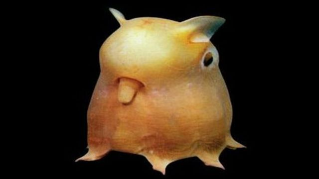 Dumbo Octopus Named after the elephant in the Disney film, this octopus isn't necessarily as terrifying as the frill shark but it's far too strange to not include on this list.