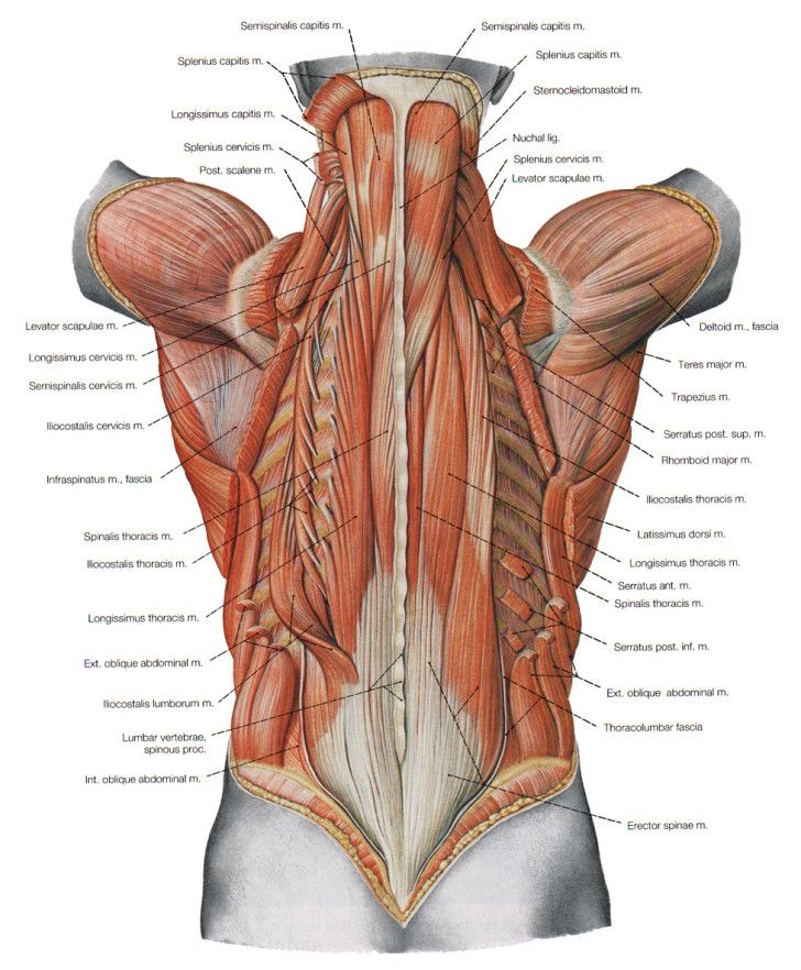 Muscles , 7 Deep Muscles Of Back Anatomy : The Deeper Muscles Of The Back