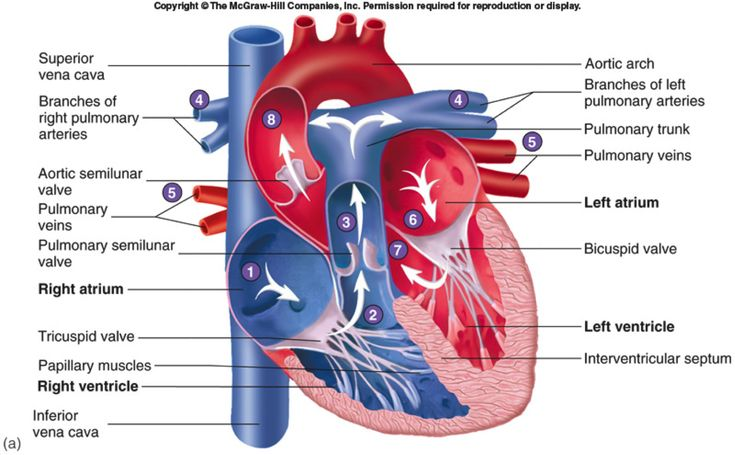 Cardiovascular Heart Parts | Circulatory system ...